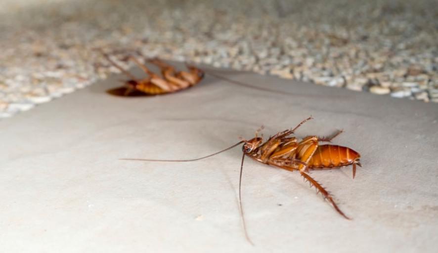Воздействие отравы на тараканов