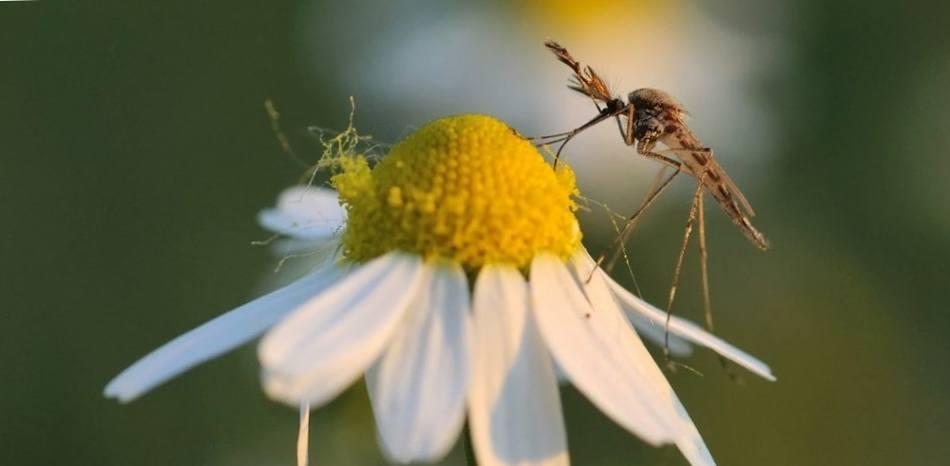 Самец комара пьет нектар